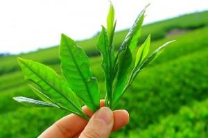 groene thee plant